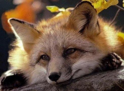 foxy_.jpg
